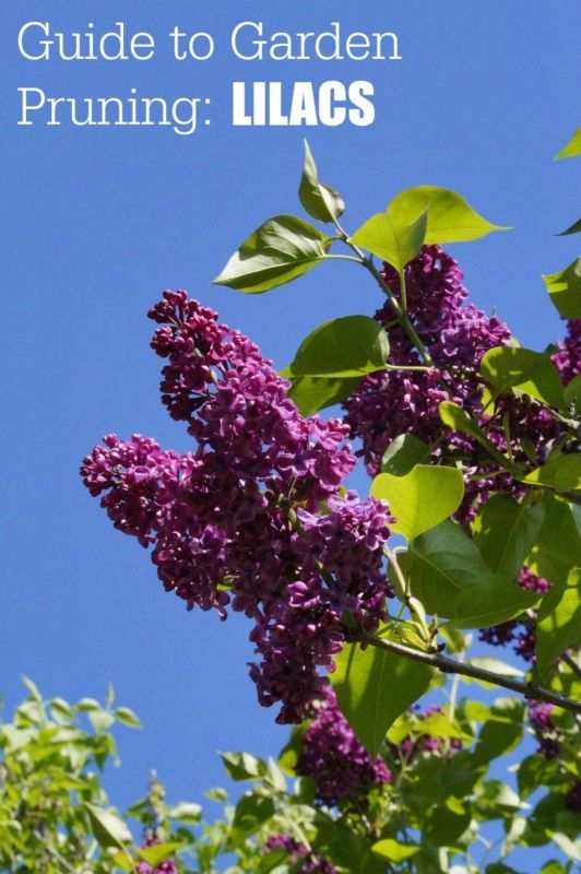 Garden Pruning Guide | Complete list that includes Spring Blooming Plants | Lilacs, Forsythia, Rhododendron. #Sponsored