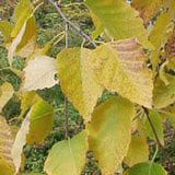 River Birch Trees: This picture shows the fall foliage color of paper birch tree. Look into Young's weeping birch, smaller than regular