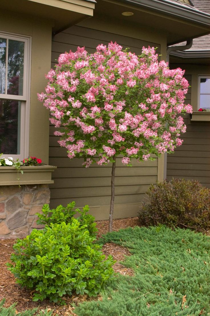 Count on standard or tree form lilacs to bring the beauty and fragrance of these beautiful shrubs into the smallest gardens. Tinkerbelle lilac opens wine-red flower buds in late spring. The blooms beckon butterflies and exude a spicy perfume. This tree form lilac reaches 8 feet tall with a spread of 4 to 5 feet. It's hardy in Zones 3 to 7.