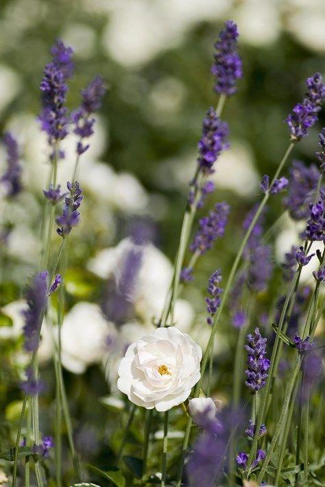 Rosor och lavendel | Blomsterlandet.se