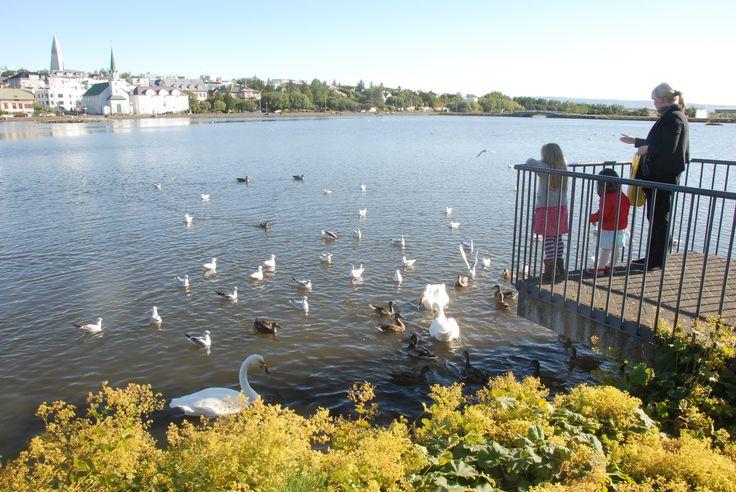 Feeding birds in Lake Tjörnin,Reykjavik