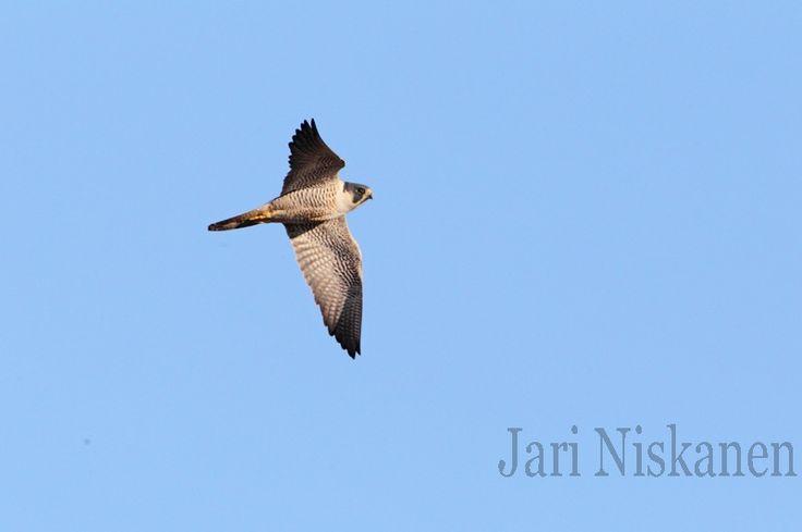 muuttohaukka-Falco peregrinus-Peregrine