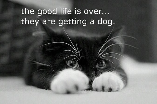 goodbye to the good life.......: Tuxedos Cat, Kitty Cat, Black And White, Ilovecat, Cute Cat, I Love Cat, Cute Kittens, Black Cat, White Cat