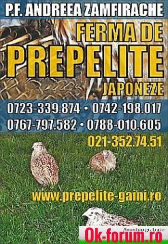 Vindem pui de prepelita,carne,oua consum si incubat   ok-forum.ro - Anunturi gratuite de mica publicitate in Romania   Bucuresti   Bucuresti   Romania   Animale domestice