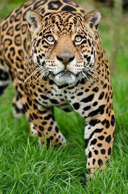 Jaguar.  No one tries to keep a Jaguar as a pet and for good reasons.