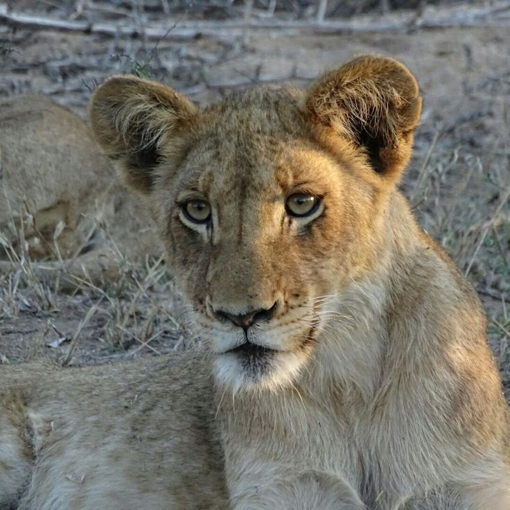 Lioness South Africa Lion