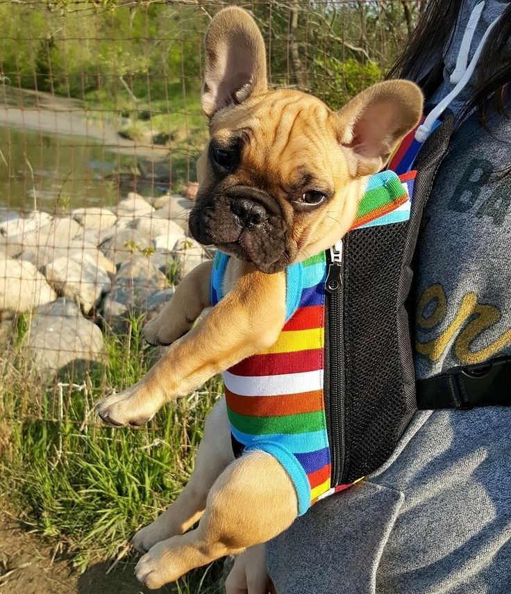 """if you think this is awkward for you, imagine what it's doing for me!"", funny French Bulldog Puppy in a Baby Carrier."