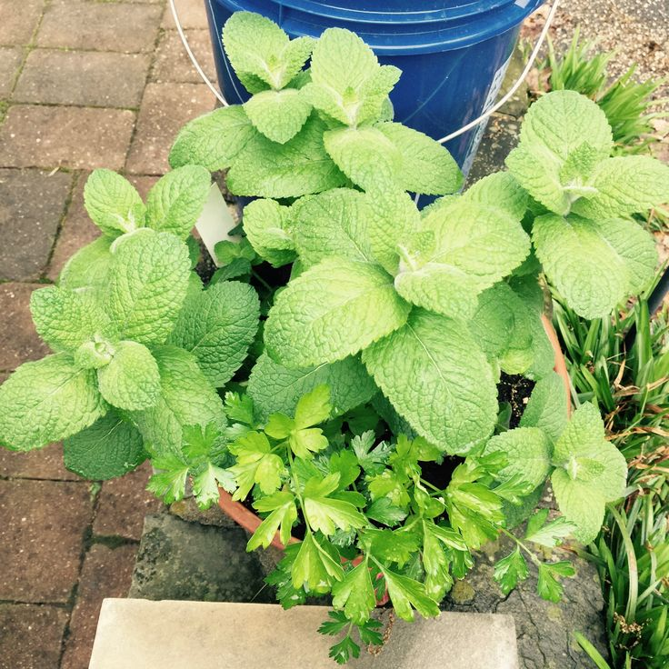 Mint and parsley plants