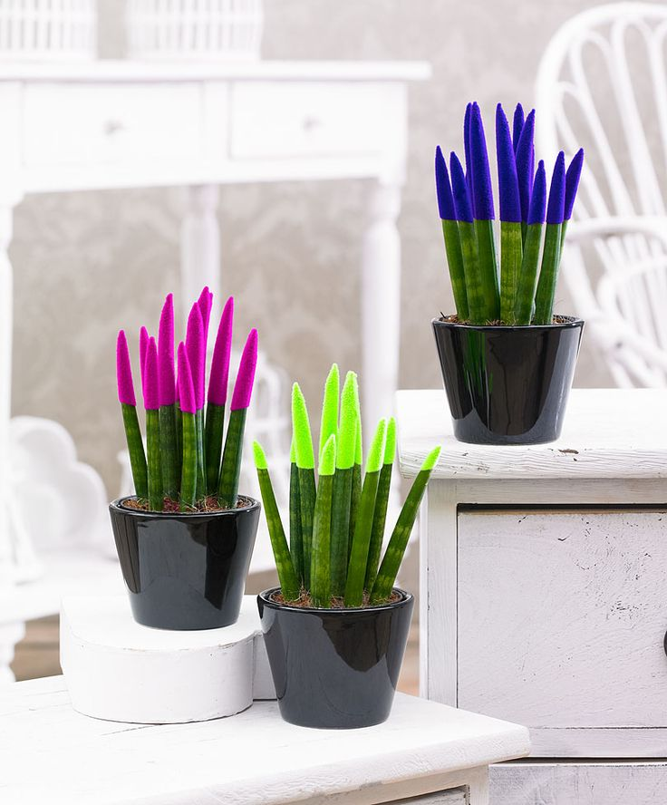 Collection de 3 Plantes-crayon 'Velvet TouchZ®' en 3 couleurs | Plantes | Bakker France