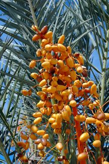 10 Best South Florida Sylvester Palm Images On Pinterest