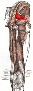 The piriformis muscle is categorized as one of six deep lateral rotators of the hip and is one of only three muscles that connect the legs to the spine. If you know of your piriformis muscle you probably consider it more of an irritant than a rotator. Let's look closely at the specific functions of ...