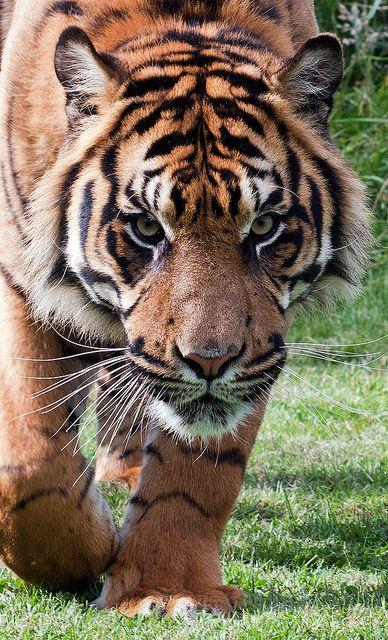 Tiger Prowl by DickieK, via Flickr