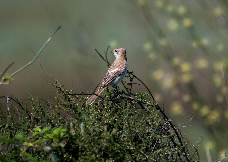 #guidofrilli - photo Guido Frilli - Stagno di Cabras c/o Riola - Nikon D300 + Tamron 150/600 - 1/1600 sec. f/6.3 ISO-200 - 600 mm a 15.8 m. - Avèrla piccola (Lanius collurio, Linnaeus 1758) è un comune passeraceo detto anche falconcello.