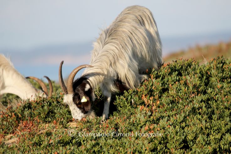 fauna sarda | La splendida fauna sarda nell'incomparabile paradiso di Scivu.