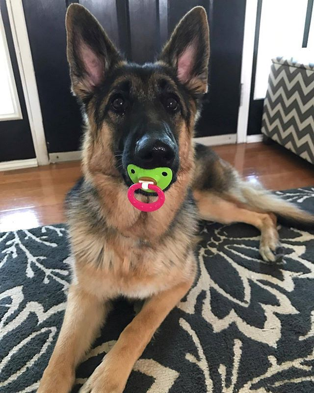What, what is everyone laughing at?? @gsd.ash germanshepherd #germanshepherds #germanshepherdmemes #germanshepherdphotos #germanshepherddog #gsdstagram #germanshepherdpictures#gsd #gsdphotos #gsdpictures German Shepherd, German Shepherds, German Shepherd dog, german shepherd memes, german shepherd photos, gsdstagram, german shepherd pictures, gsd, gsdphotos, gsd pictures
