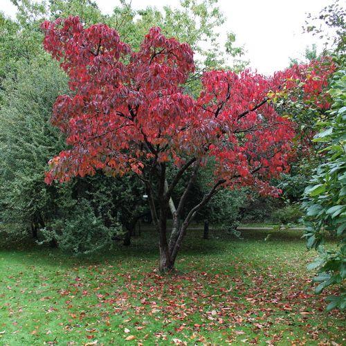 Prunus Sargentii Bergk 246 Rsb 228 R P 229 H 246 Sten R Amp L
