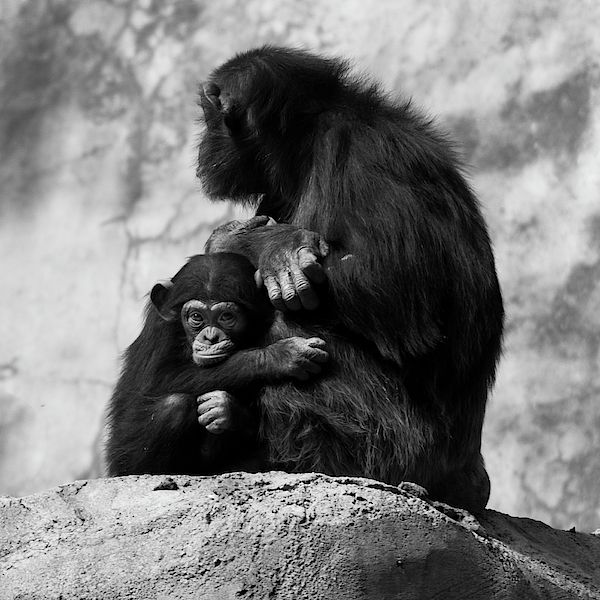 Chimpanzees By Arnon Z Shorr In 2020 Chimpanzee Los Angeles Zoo Animal Photo