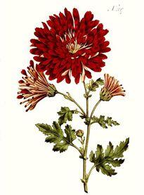 Chrysanthemum indicum (1796)
