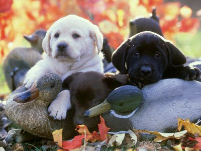 Have three loves of my life... three Labrador Retriever puppies... one of every color... :) yes.. best idea ever