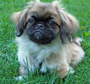 Pekingese Puppies For Sale | Pekingese Breeders | Pekingese For Sale ...