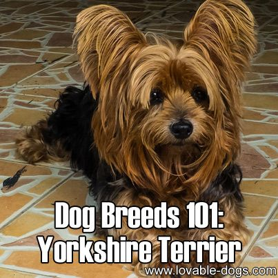 types of yorkie haircuts 15 must see terrier haircut pins yorkie 4341