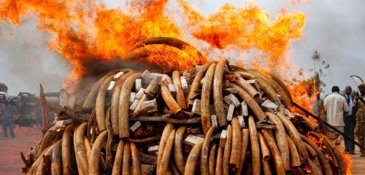 Photo Gallery: Elephant Poaching Fuels African Wars.  Try to count the tusks.  For every two tusks, an elephant died.