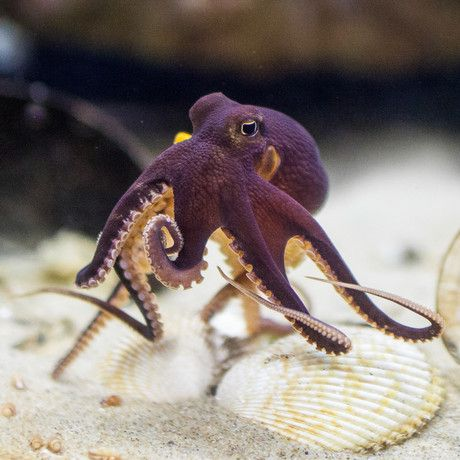 COCONUT OCTOPUS amphoioctopus marginatus| @lifeadvancer | lifeadvancer.com