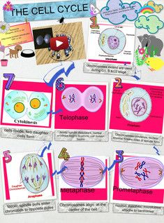 The cell cycle, or cell-division cycle, is the series of events that take place in a cell leading to its division and duplication (replication) that produces two daughter cells. In cells without a nucleus (prokaryotic), the cell cycle occurs via a process termed binary fission. #Glogster #CellCycle