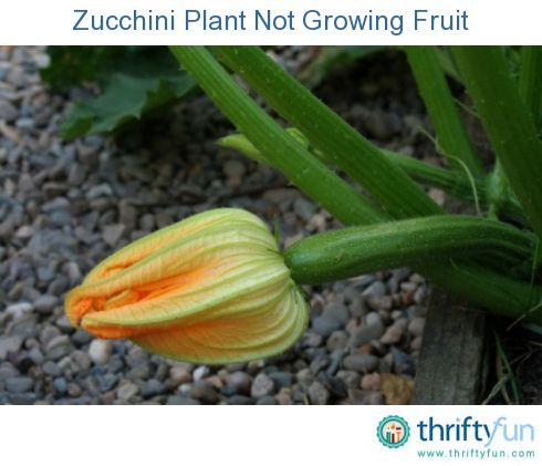 This is a guide about a zucchini plant not growing fruit. Your zucchini plant is growing very well and even flowering, but not setting fruit.