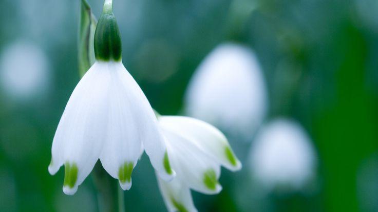 snowdrop flowers - Google Search