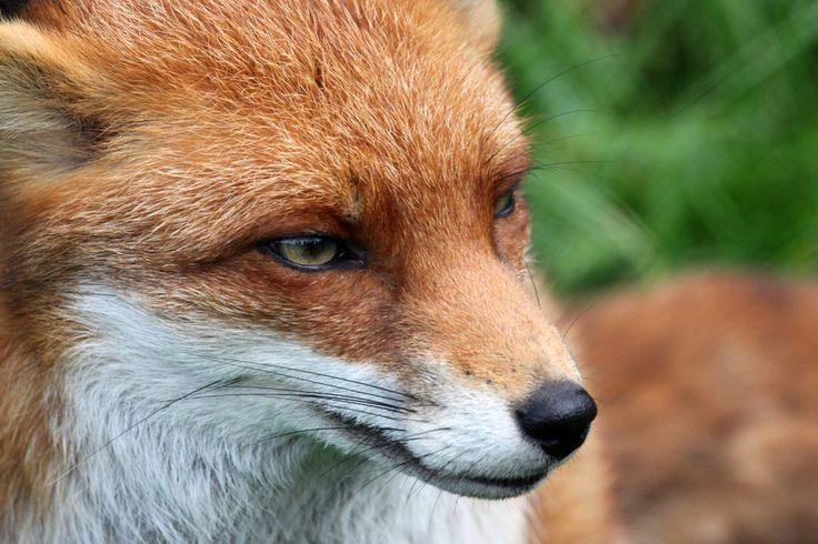 картинки лисы с зелеными глазами соцсети начали