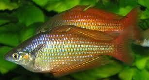 Image result for Australian rainbow fish