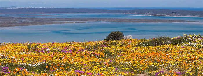 """Nothing says """"the end of winter is near"""" more than the sighting of wild flowers along Cape Town's West Coast! #capetownvolunteer"""