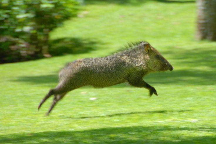 Wild boar Cuixmala