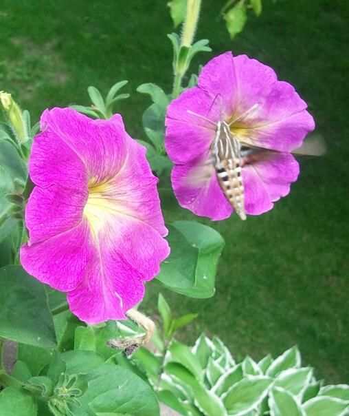 This photo was taken in our farmhouse garden -  this is what I call a Hummingbird Moth -  it flits around like a hummingbird & has a flexible beak that it dips into flowers for the nectar -   an elusive sighting that I had to take a picture of to prove to my husband that there really is such a moth that acts like a hummingbird !