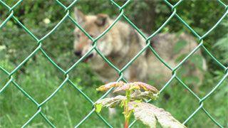 Twee wolven zijn de mascottes van de militaire basis in Bevekom (Beauvechain) waar meteowing  heel wat diensten verschaft aan de burgerluchtvaart.