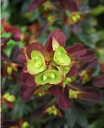 Euphorbia amygdaloïdes Purpurea