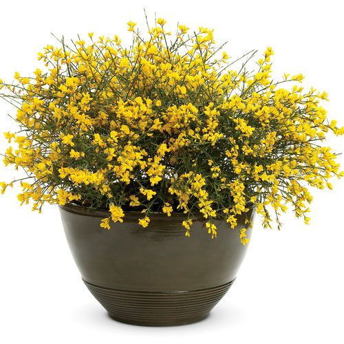 "Bangle® Genista lydia (Dyers Greenwood) Deciduous. Electric yellow flowers in late spring. Great en masse for the spring garden. Little care is needed but may be trimmed after flowering. Excellent texture. Drought and heat tolerant. 18-24"", zone 4-9"