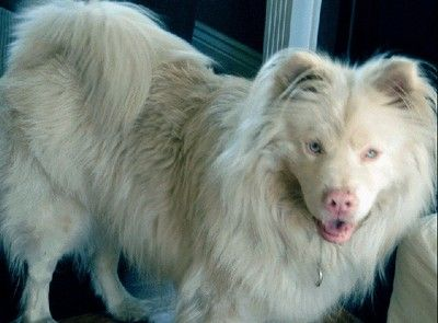An albino dog with blue eyes is called a Cornaz Albino.
