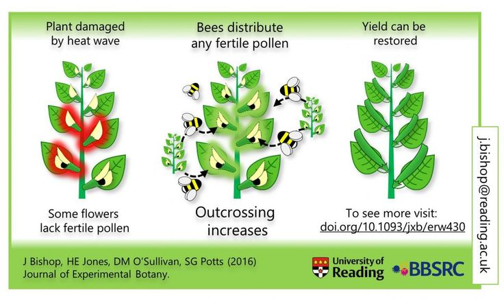 Bishop et al. have a new paper in JXB Elevated temperature drives a shift from selfing to outcrossing in the insect-pollinated legume faba bean (Vicia faba). I didnt spot it till @ReadingUrbPolls tweeted the graphic below by @jakecologist which gives a brief summary though like the bees it studies the paper has a sting in its tail. Image by Bishop Jones OSullivan and Potts. The problem Bishop et al. see is that climate change is going to have an effect on pollination. A small rise in…