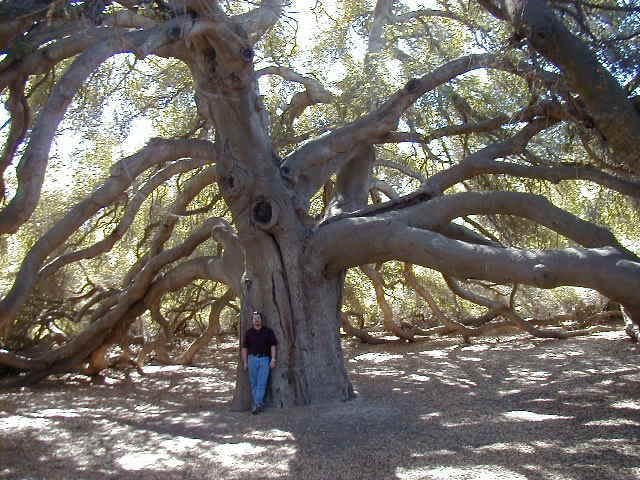 temecula pechanga | The Pechanga Great Oak, outside of Temecula, California, is over 2,000 ...