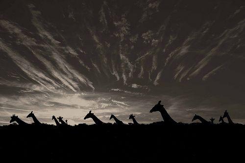 love love love giraffesGiraffes Shadows, White Photography, Mario Gerth, Art Photography, Giraffes 3, Africa Black, Etosha Pan, Gerth Photography, Northern Namibia