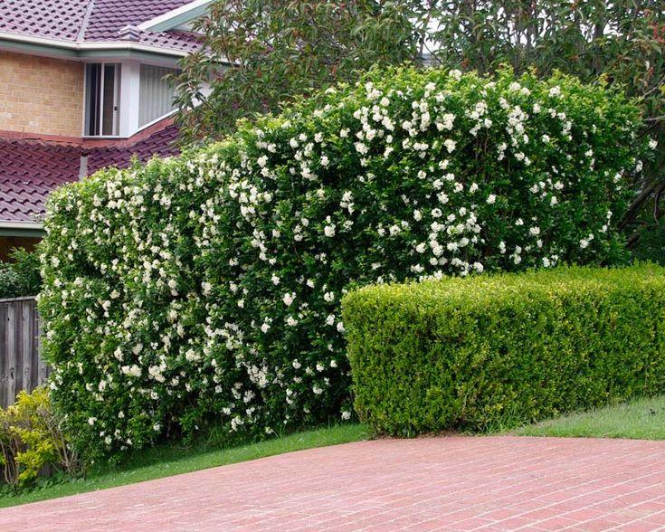 murraya paniculata hedge - Google Search