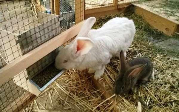 Концентрированные корма для кормления кроликов  По ряду причин далеко не каждый кроликовод-любитель может самостоятельно производить на своей даче комбикорма. В этом случае, вам придется покупать уже готовый гранулированный комбикорм. Однако найти специализированный комбикорм для кроликов не так уж и просто, и тогда в ход идут корма для других видов животных. Лучший заменитель кроличьего комбикорма – свиной комбикорм, далее по питательности идет комбикорм для КРС. А вот любые виды комбикорма…
