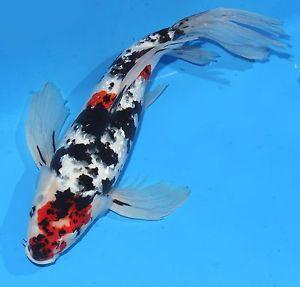 Live koi fish 15 16 gin rin sanke butterfly red white for Black koi fish