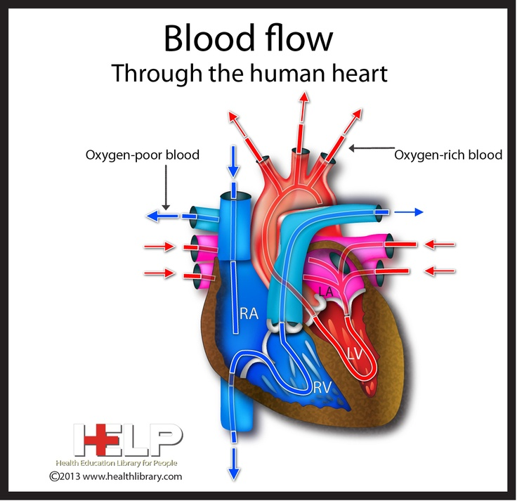 Blood Flow Through The Human heart | Passion for Medicine ...