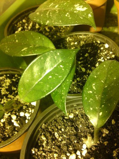 I love hoya plants as they are so easy to care for, but here are Care instructions for the Hoya plant