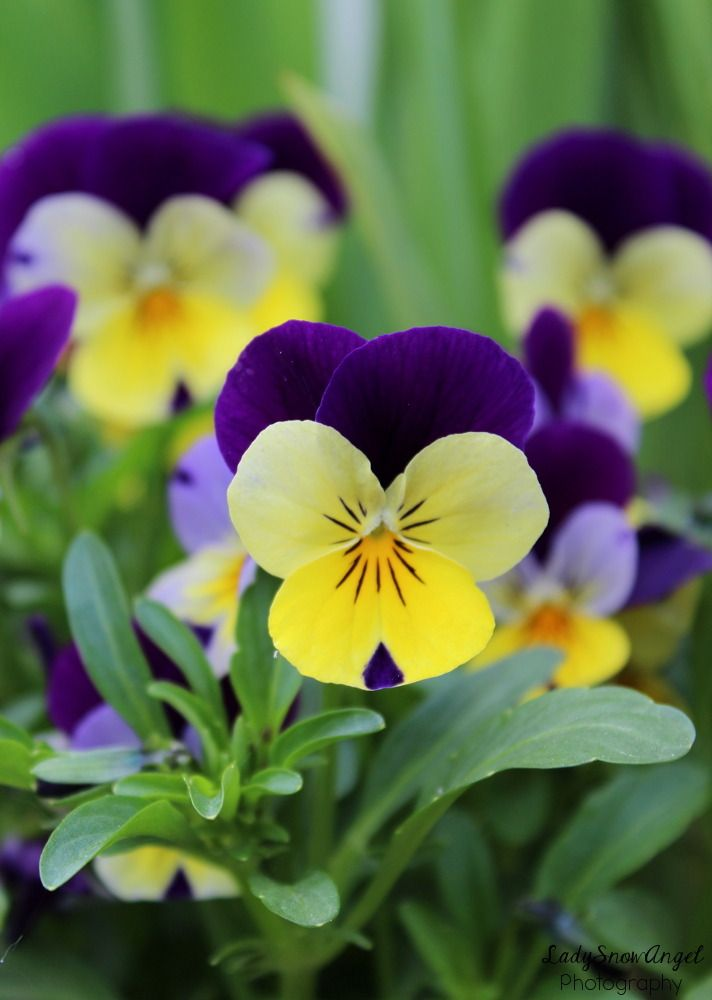 Purple And Yellow Pansies By Ladysnowangel Pansies Flowers Pansies Flowers Photography