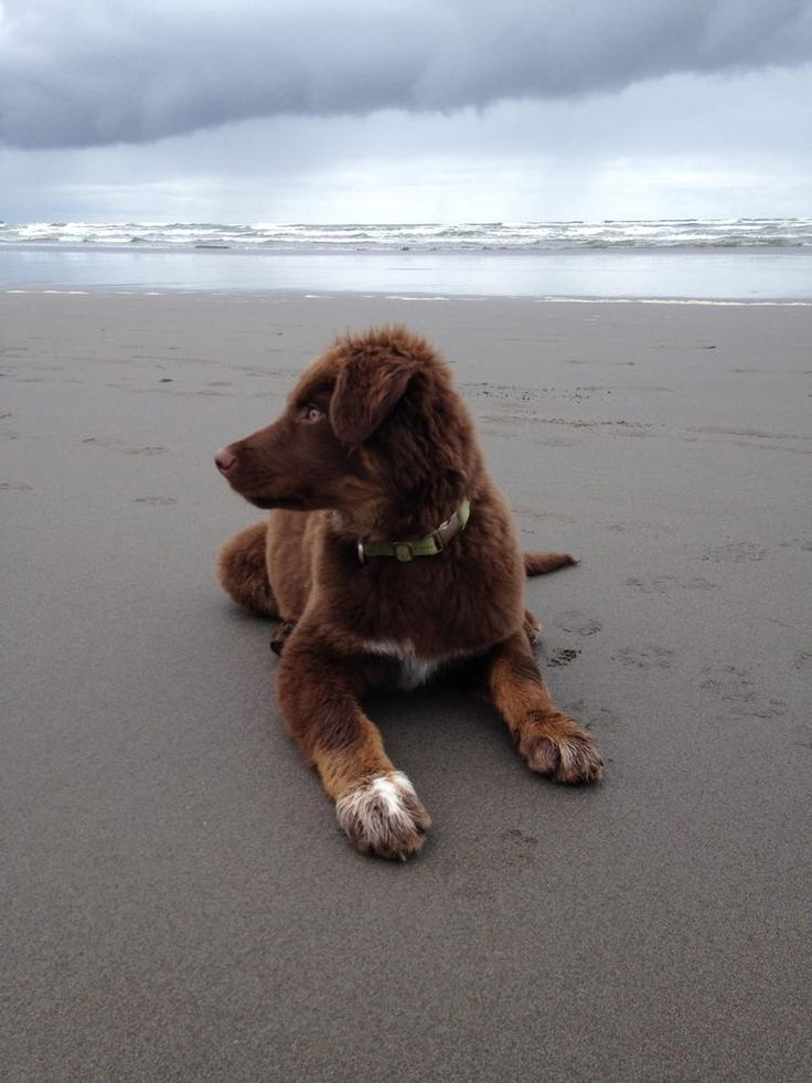 Chesapeake Bay Retriever mix puppy. So, so cute.