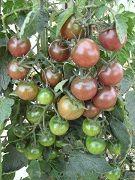 Black Cherry  Een opwindende, donkere Cherrytomatensoort met kleine, ronde, donkerpaars tot Mahonie-bruine vruchten. De smaak is zoet, rijk en complex